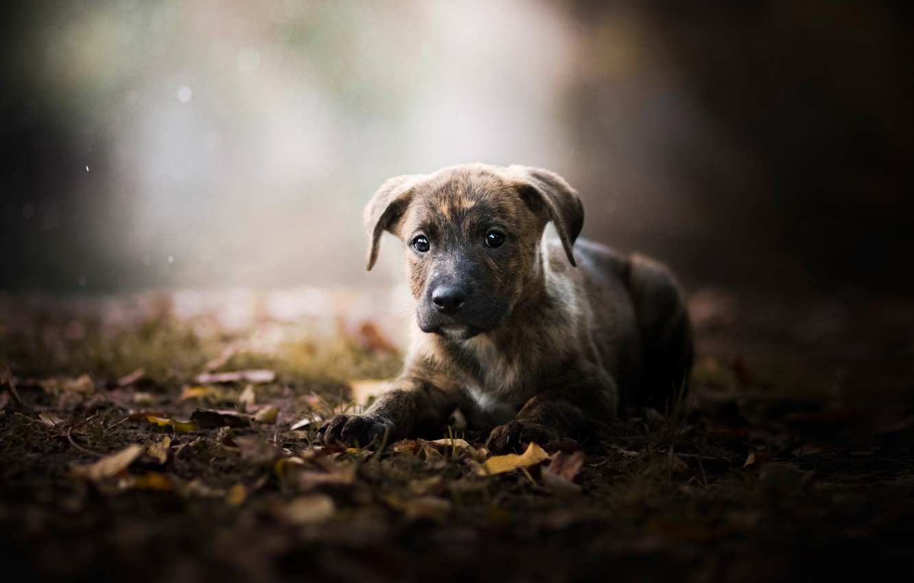 Photo wallpaper autumn, leaves, puppy, bokeh, doggie