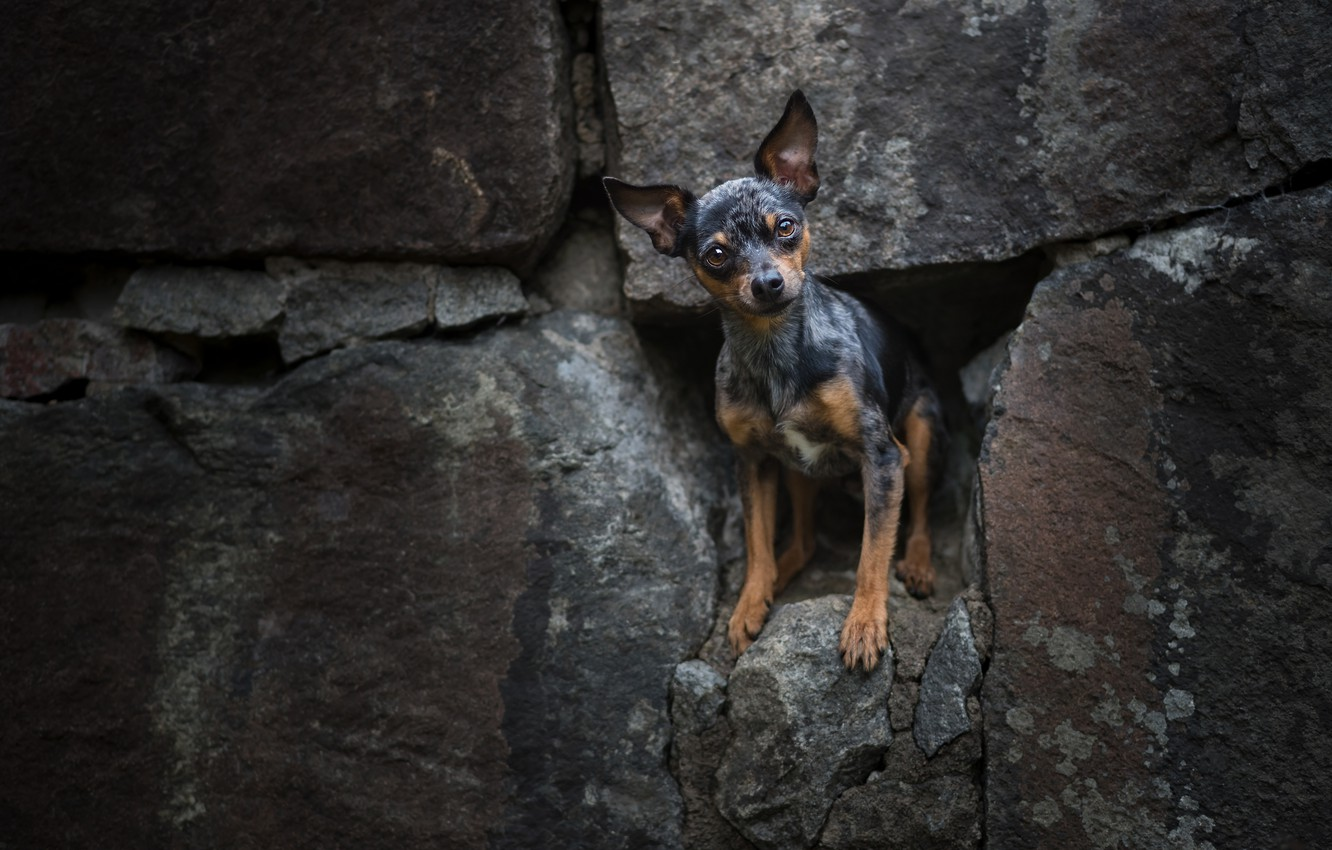 Photo wallpaper stones, doggie, dog, Russian toy Terrier