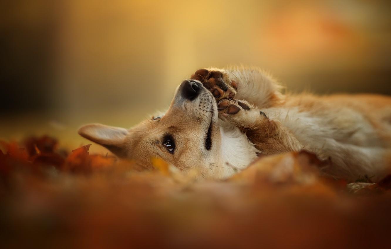 Photo wallpaper autumn, nature, each, dog, Welsh Corgi