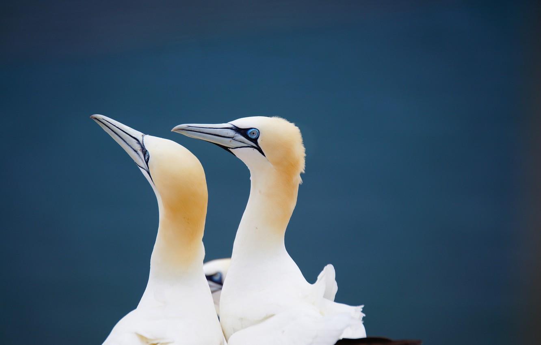 Photo wallpaper birds, pair, gannets