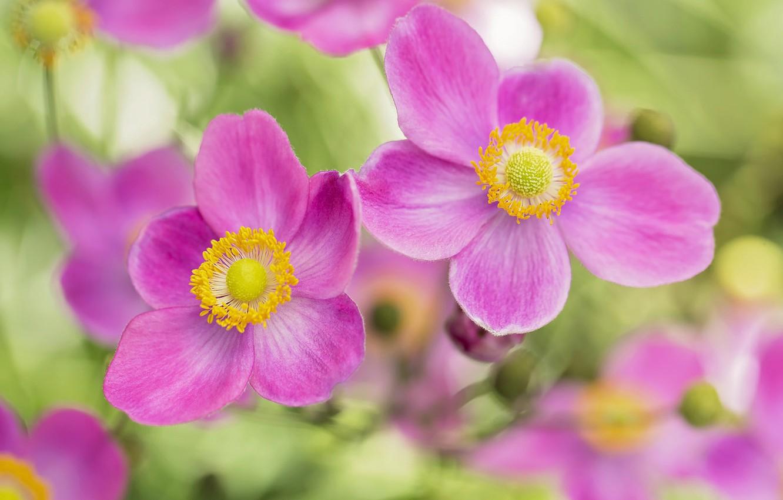 Photo wallpaper petals, pink, bokeh, anemones