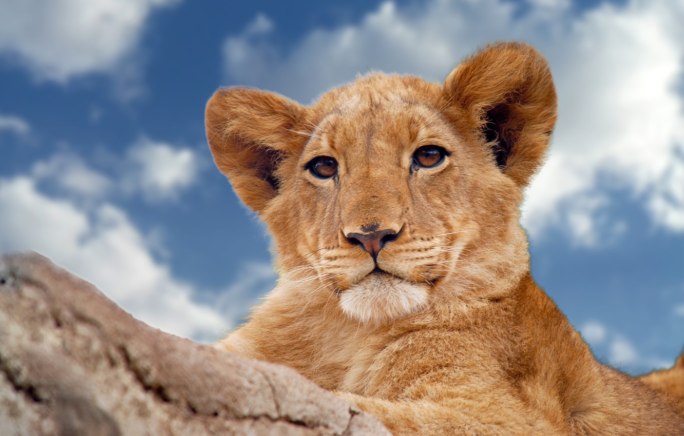 Photo wallpaper the sky, look, wild cat, lion, young lion