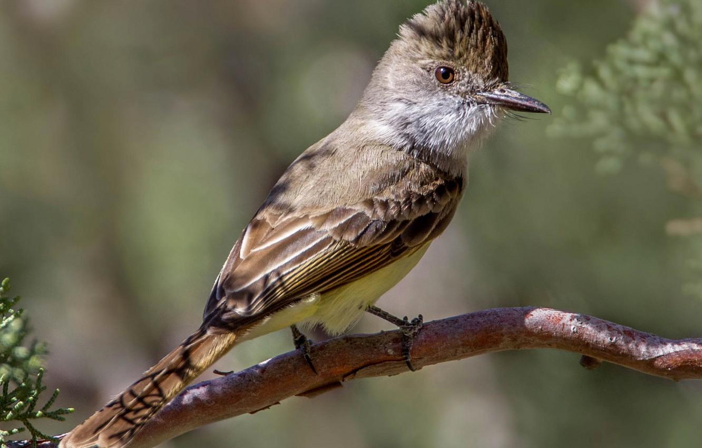 Photo wallpaper bird, beak, tail, crested yellow-bellied Tyrann