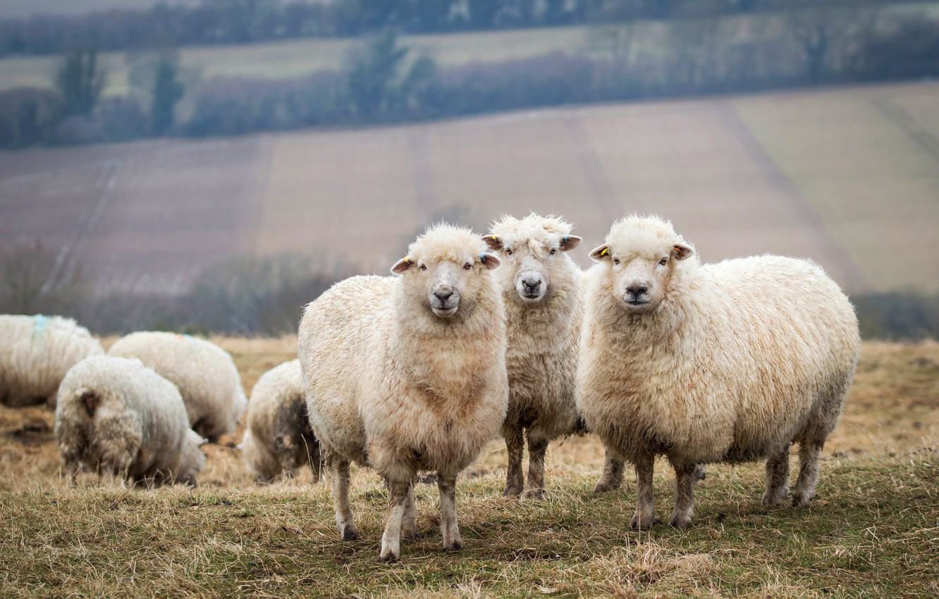 Wallpaper Field Background Field Sheep Sheep Trio The Herd Lambs Sheep Livestock Images For Desktop Section Zhivotnye Download