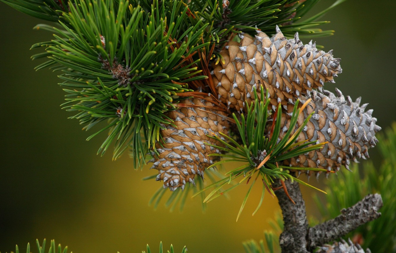 Photo wallpaper nature, branch, needles, bumps, pine