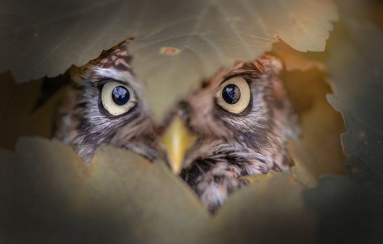 Photo wallpaper eyes, leaves, owl, bird