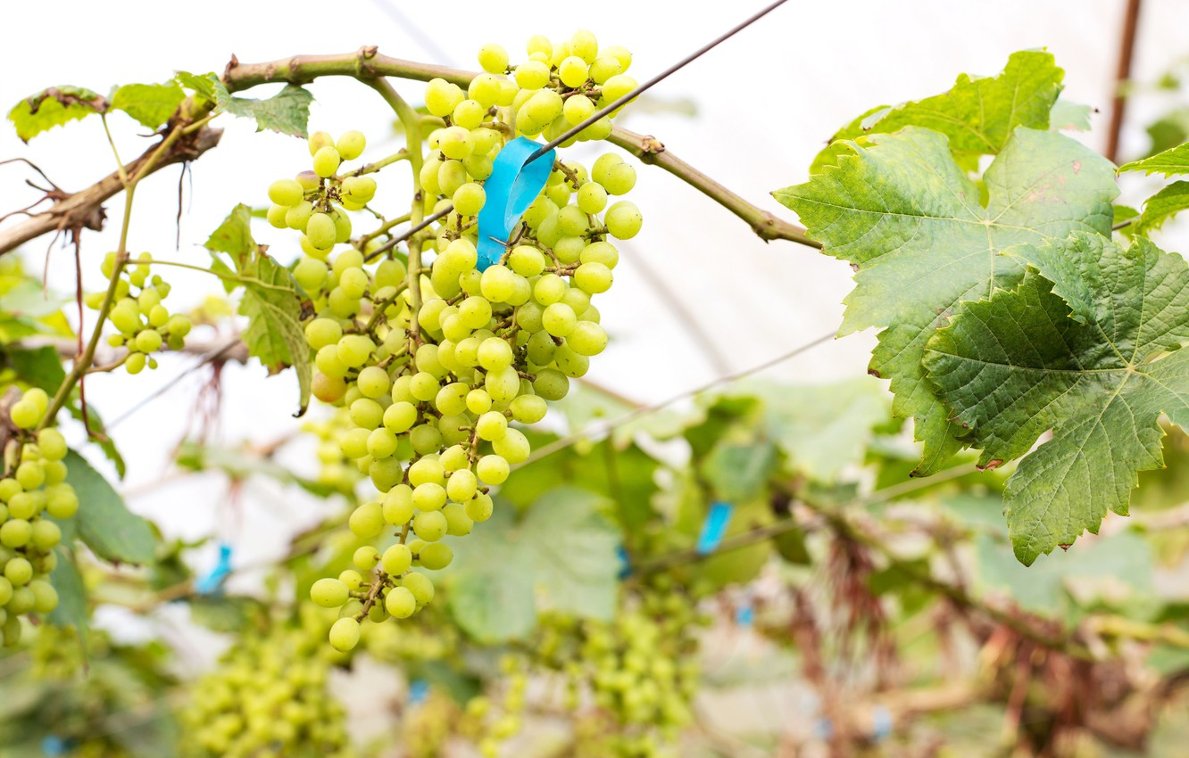 Photo wallpaper leaves, nature, grapes, vineyard, brush, bunches of grapes