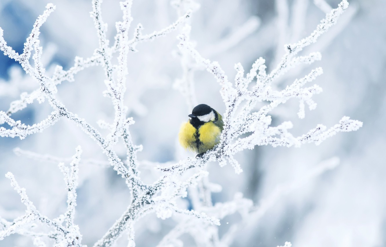 Photo wallpaper winter, frost, branches, bird, tit