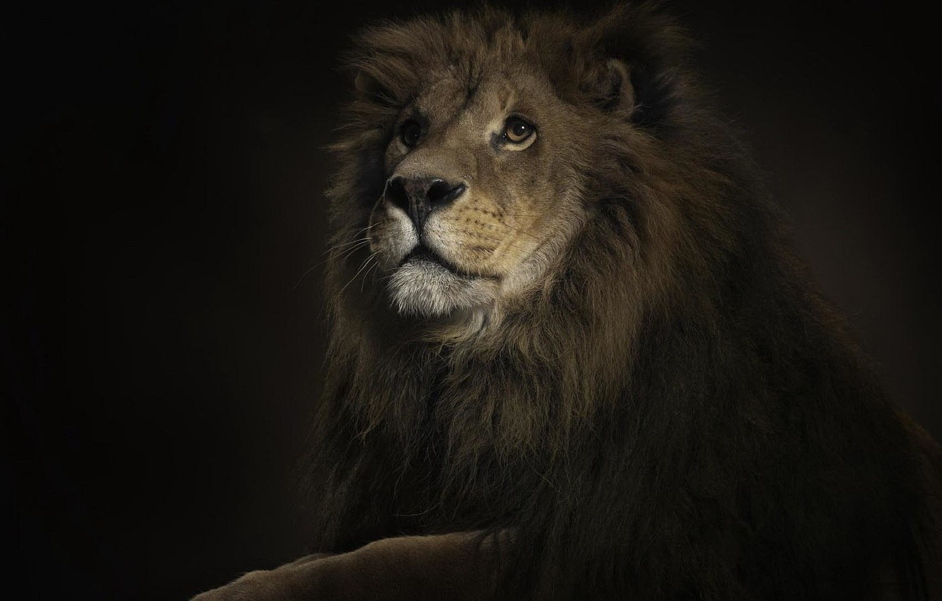 Photo wallpaper Leo, handsome, the king of the jungle