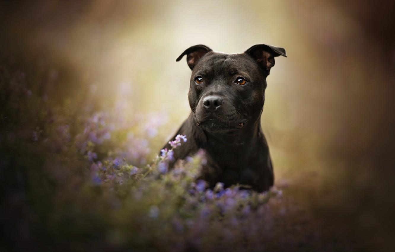 Photo wallpaper look, face, flowers, dog, bokeh, American Staffordshire Terrier