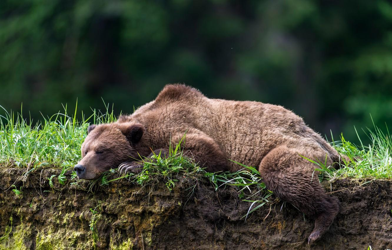 Photo wallpaper open, stay, sleep, bear, sleeping bear, The Bruins