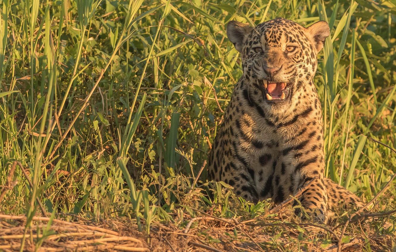 Photo wallpaper grass, predator, Jaguar, wild cat