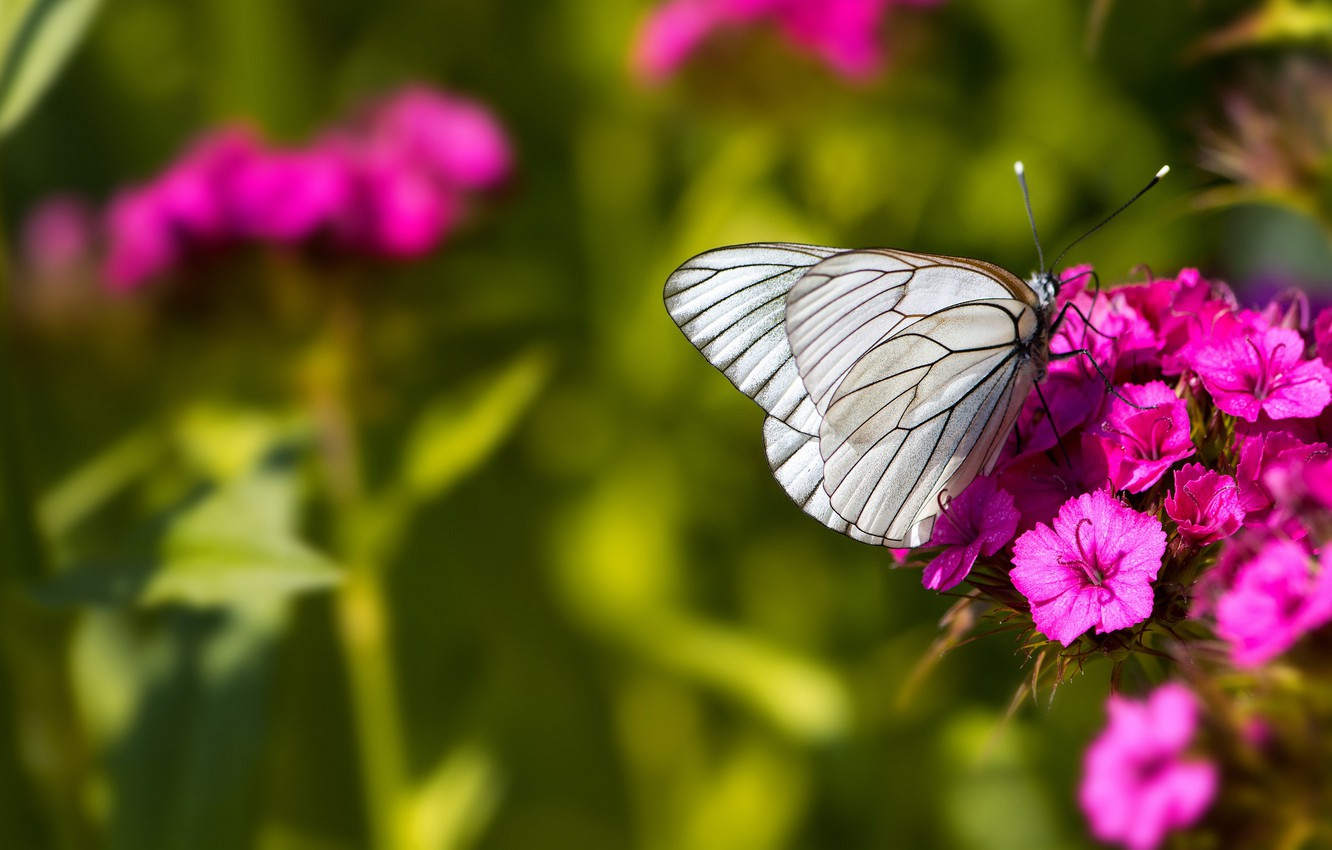 Wallpaper Macro Butterfly Flowers Insects Nature Green