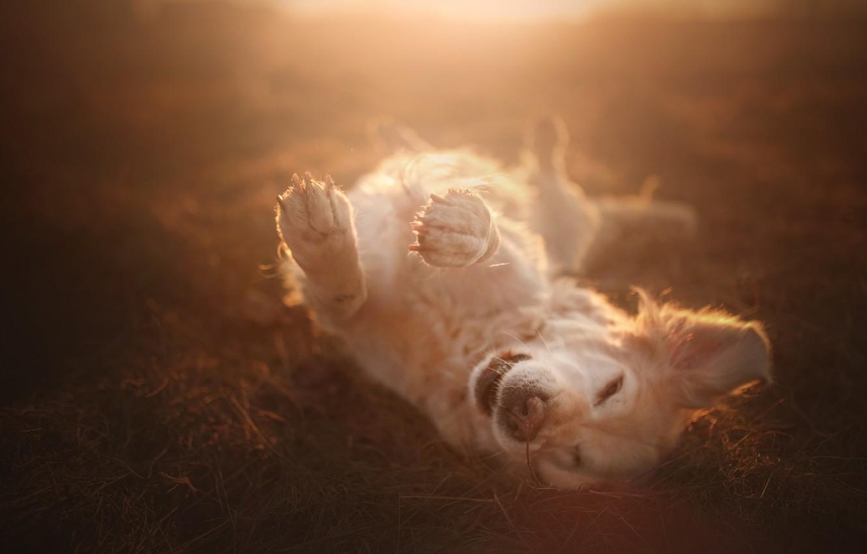 Photo wallpaper joy, mood, dog, paws, bokeh, Golden Retriever, Golden Retriever