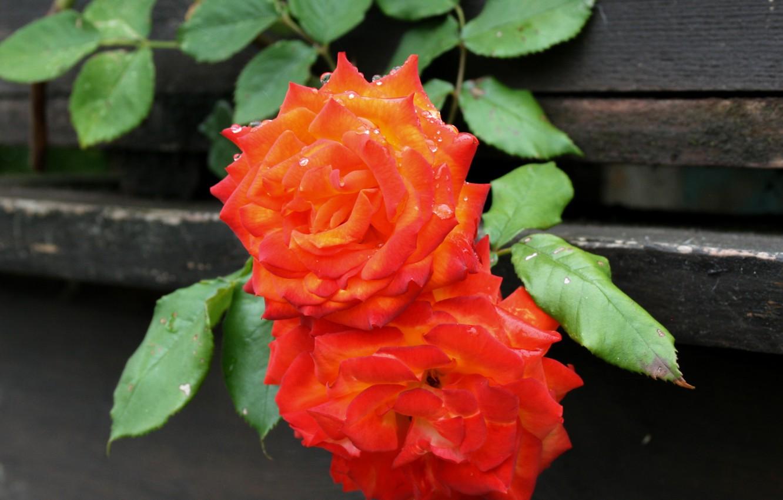 Photo wallpaper Drops, Bokeh, Bokeh, Drops, Orange roses, Orange roses