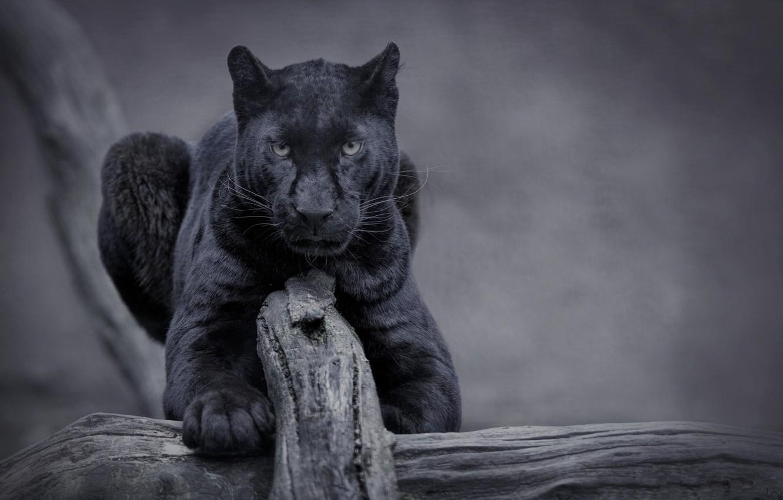 Photo wallpaper nature, cat, panther, wild, black panther