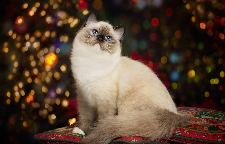 Photo wallpaper cat, portrait, pillow, beauty, blue eyes, bokeh, Ragdoll