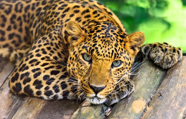 Photo wallpaper look, face, predator, leopard