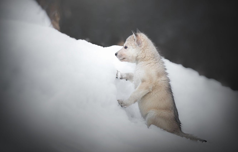 Photo wallpaper winter, snow, dog, puppy, the snow, doggie, The Czechoslovakian Wolfdog, Volkosob