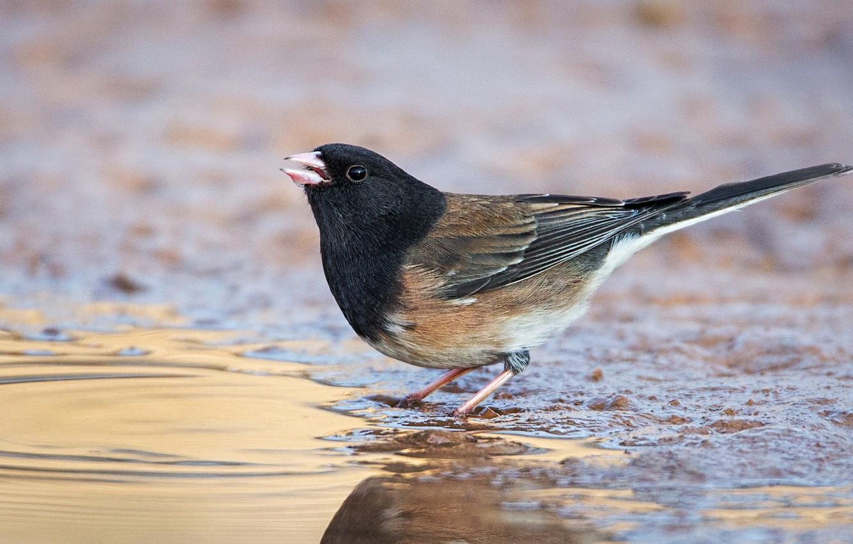 Photo wallpaper water, bird, beak, tail, gray Junco
