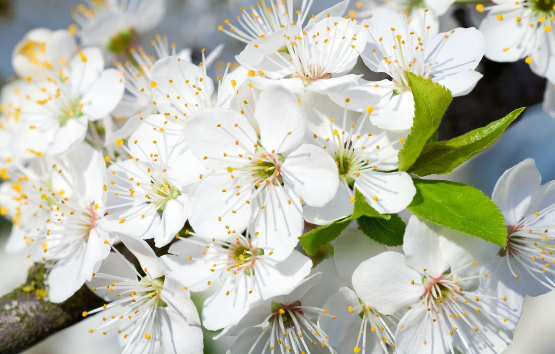 Photo wallpaper flowers, tree, branch, spring, flowering