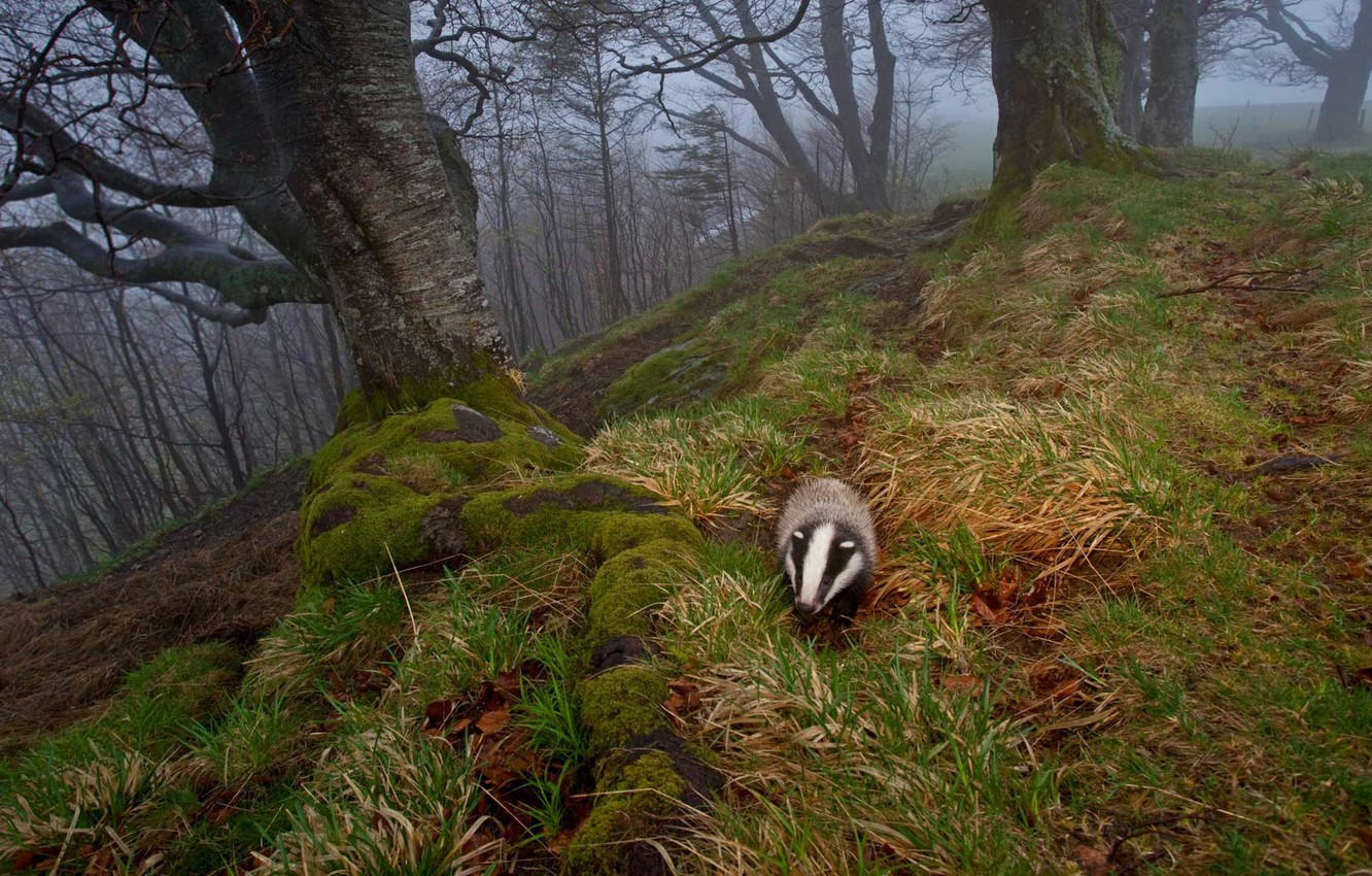 Wallpaper Autumn Nature Fog Germany Badger The Black