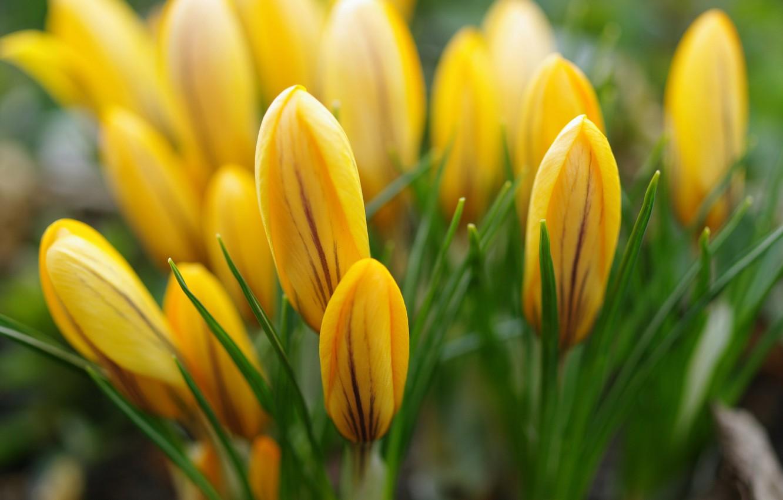Photo wallpaper macro, joy, flowers, nature, beauty, plants, spring, crocuses, primroses, cottage, flora, April, yellow, bulbous