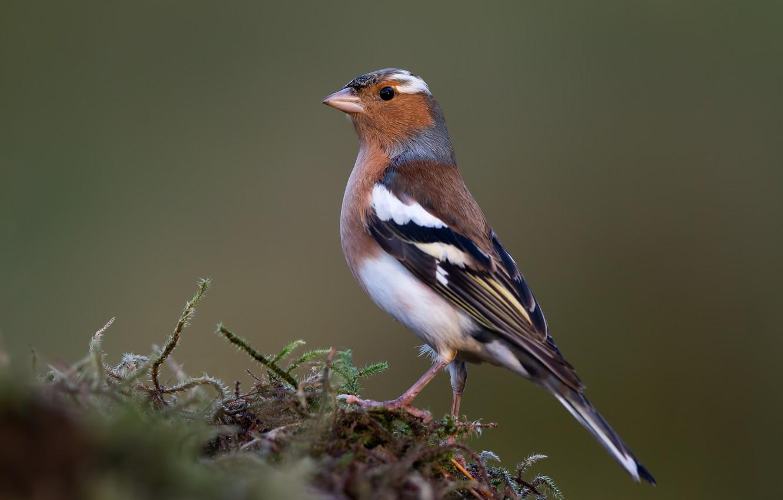Photo wallpaper birds, male, Chaffinch