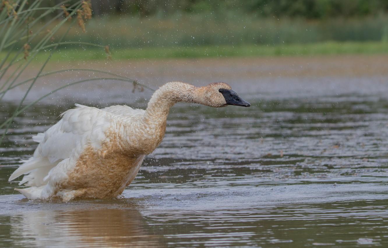 Photo wallpaper Water, Nature, Swan, Bird