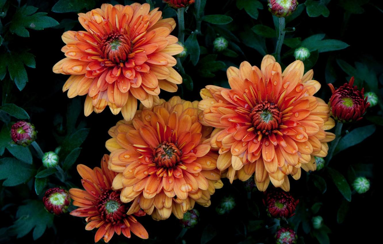 Photo wallpaper leaves, nature, petals, garden, chrysanthemum