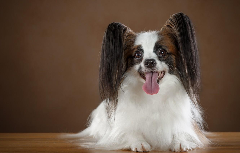 Photo wallpaper language, ears, breed, Papillon