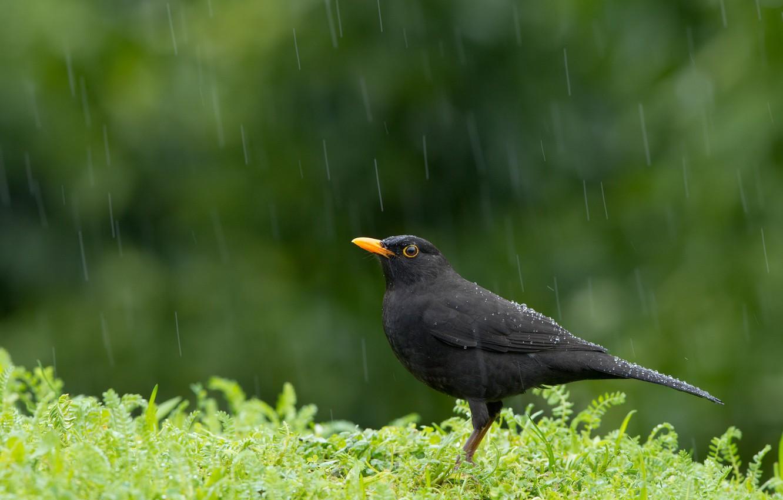 Photo wallpaper rain, bird, Blackbird, Turdus merula