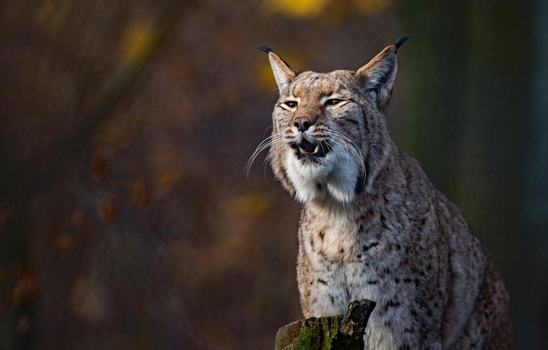 Photo wallpaper background, lynx, wild cat, bokeh