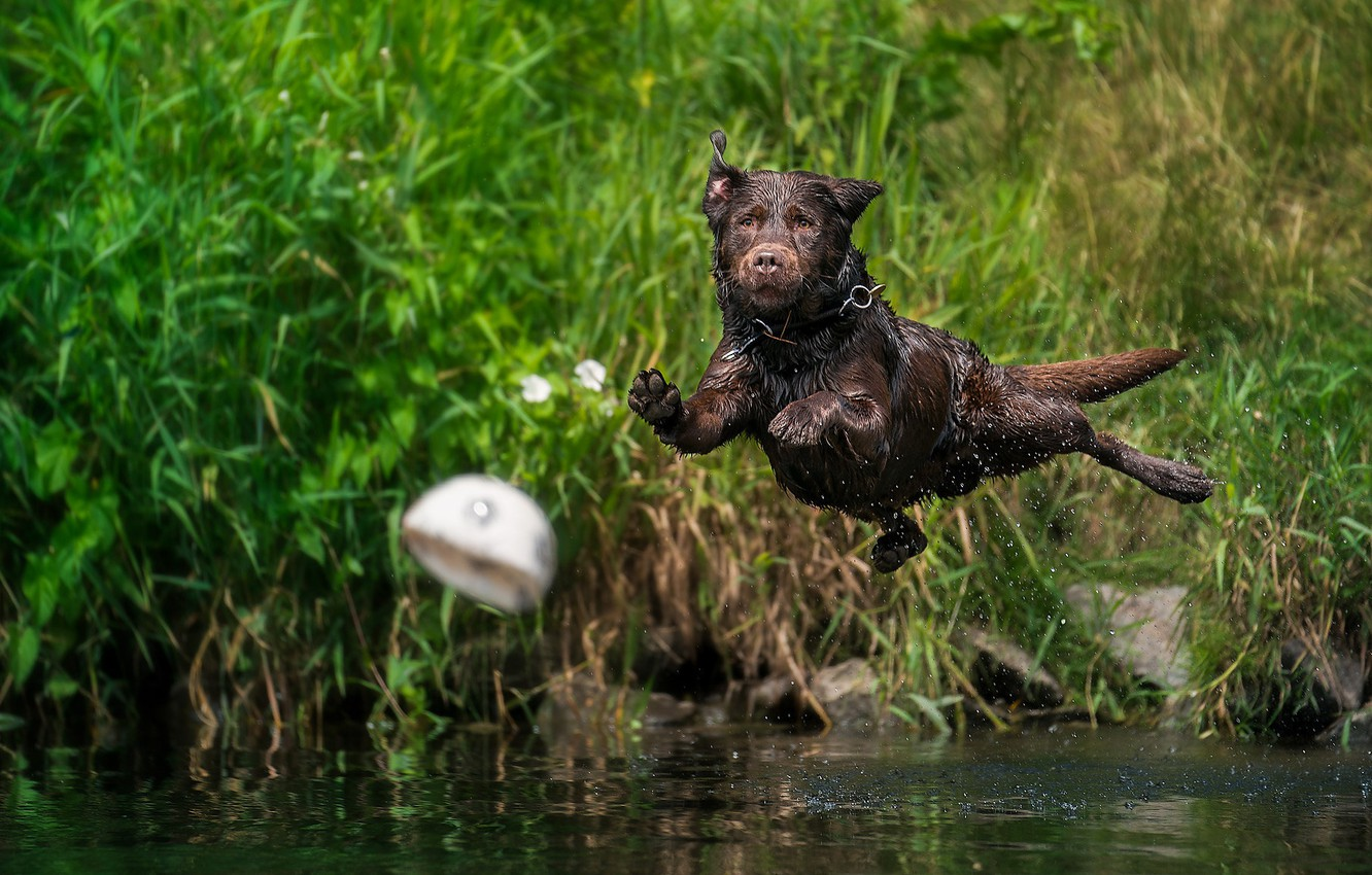 Photo wallpaper water, squirt, jump, the ball, dog, Labrador Retriever