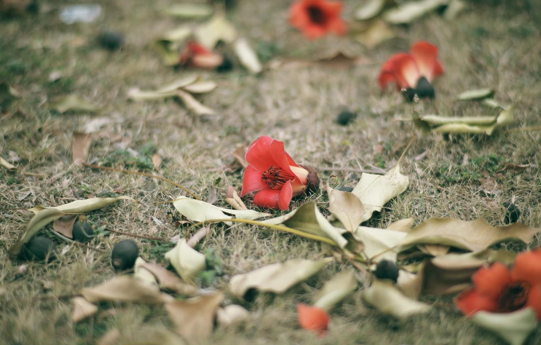 Photo wallpaper flower, grass, red, petals, Bombax