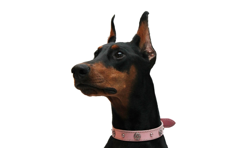 Photo wallpaper Doberman, white background, pink collar, black and tan