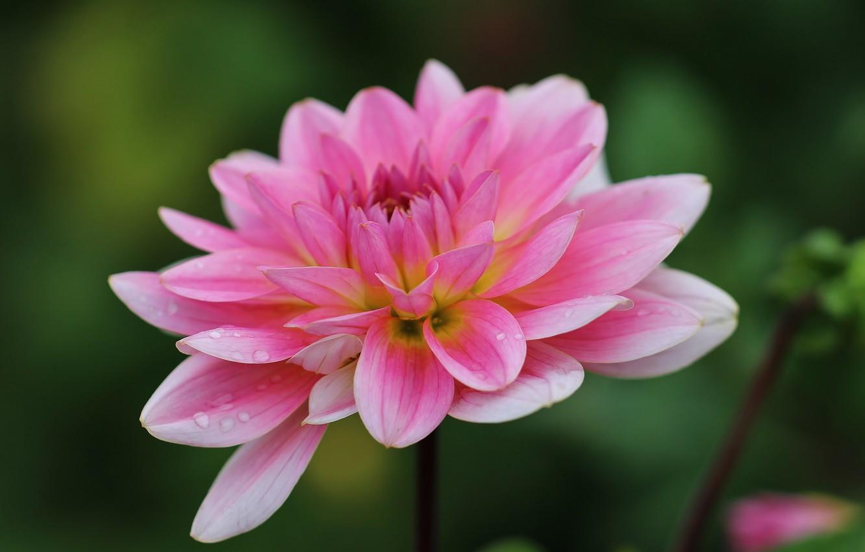 Photo wallpaper flower, drops, macro, pink, Dahlia