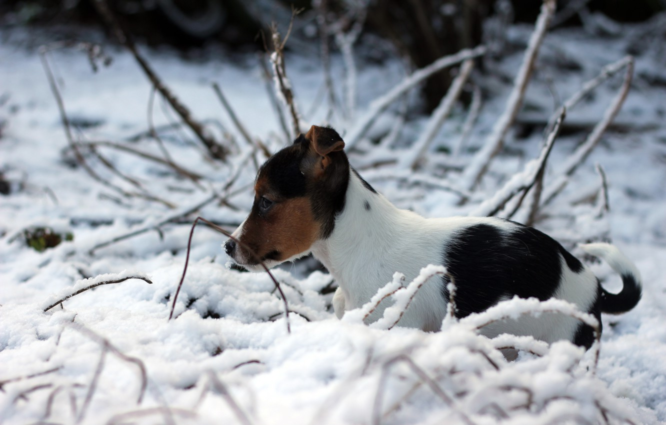 wallpaper winter snow dog puppy jack russell terrier images for
