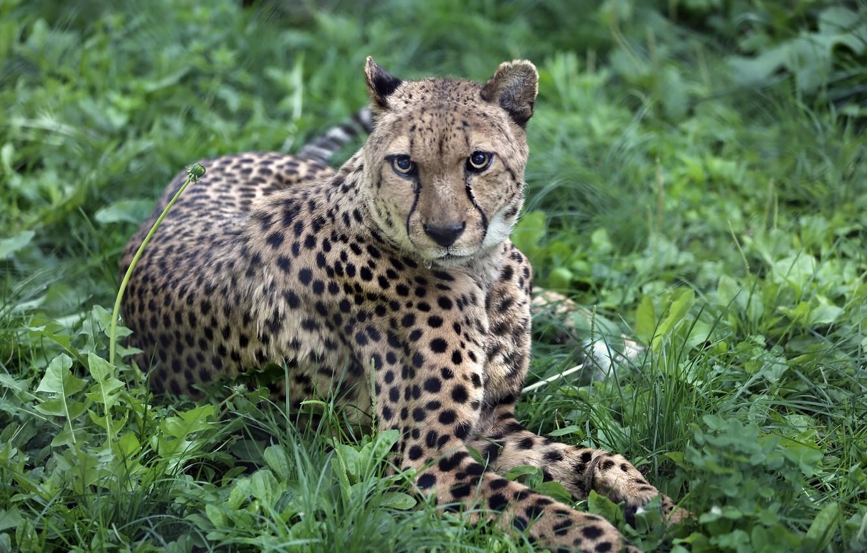 Photo wallpaper nature, predator, the plot, tail, exotic, Sunny, lawn, zoo, cat, fauna, cheetahs, animal world