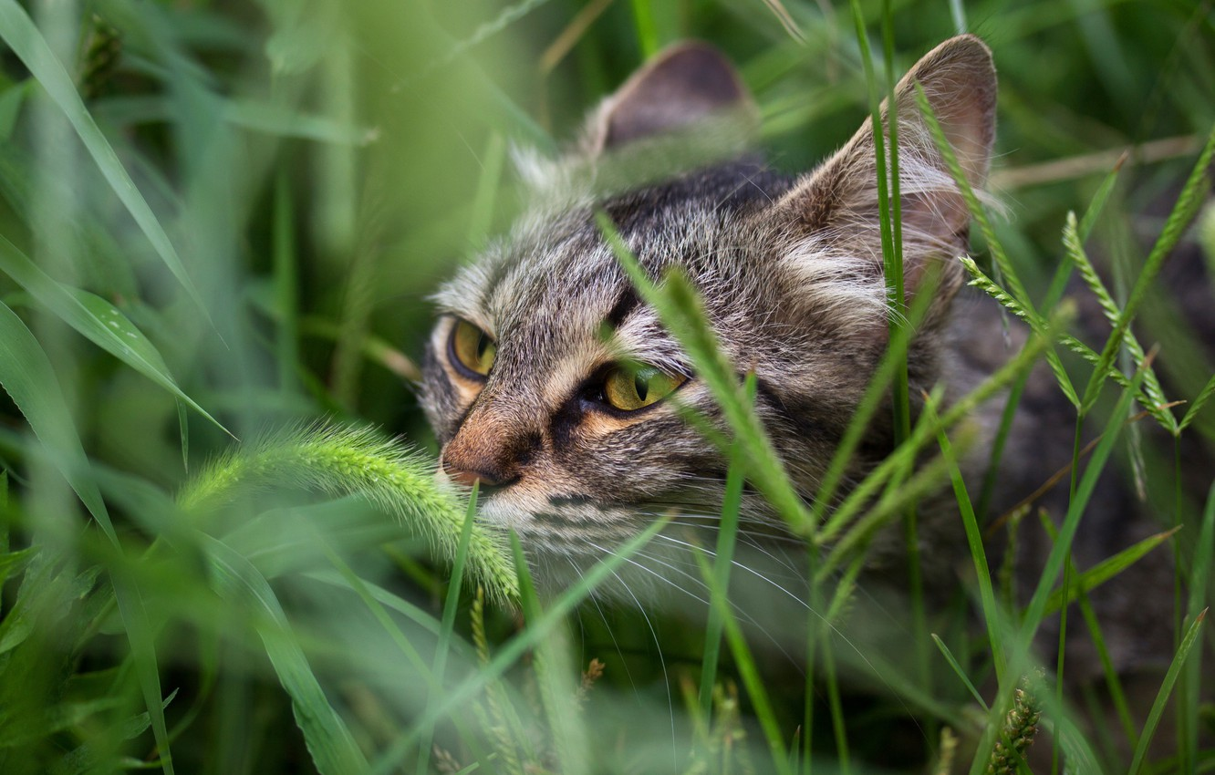 Photo wallpaper field, cat, summer, grass, cat, look, face, nature, green, grey, background, portrait, striped, cereals, sniffing