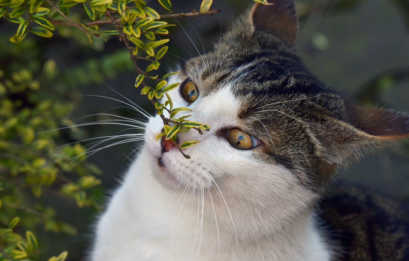 Photo wallpaper cat, eyes, cat, face, leaves, nature, background, portrait, branch, spring, wild eyes