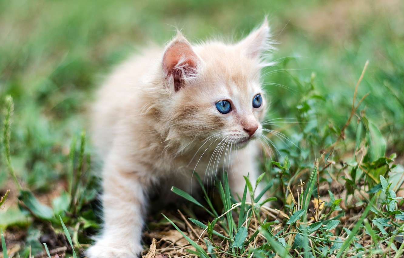 Photo wallpaper grass, baby, red, kitty, blue eyes, bokeh