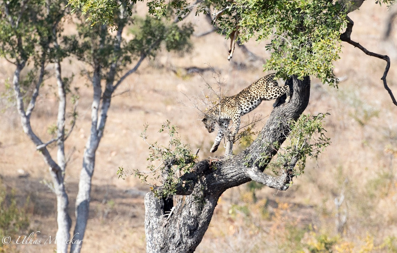 Photo wallpaper predator, leopard, Africa, wild cat, on the tree