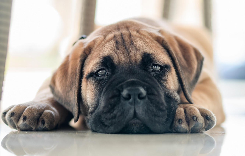 Photo wallpaper look, puppy, face, doggie, Bullmastiff