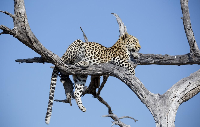 Photo wallpaper stay, predator, leopard, lies, Africa, wild cat, on the tree