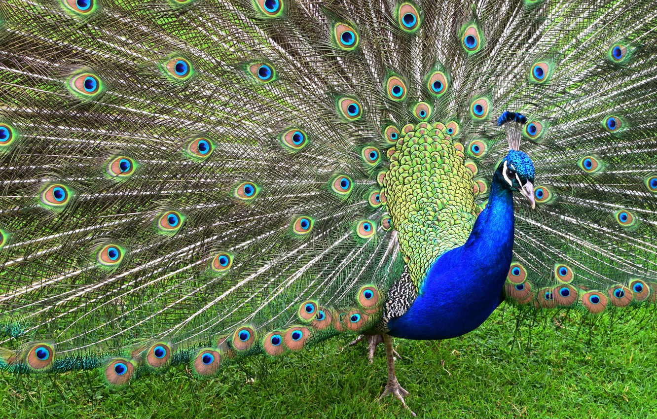 Photo wallpaper grass, blue, nature, green, bird, pattern, feathers, tail, peacock, tail, opened
