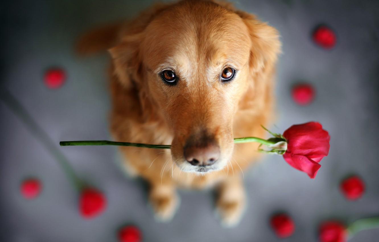 Photo wallpaper flower, look, animal, rose, dog, dog, Retriever
