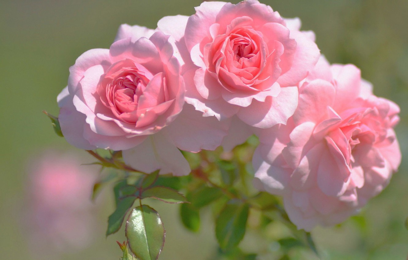 Photo wallpaper blurred background, three roses, pink buds