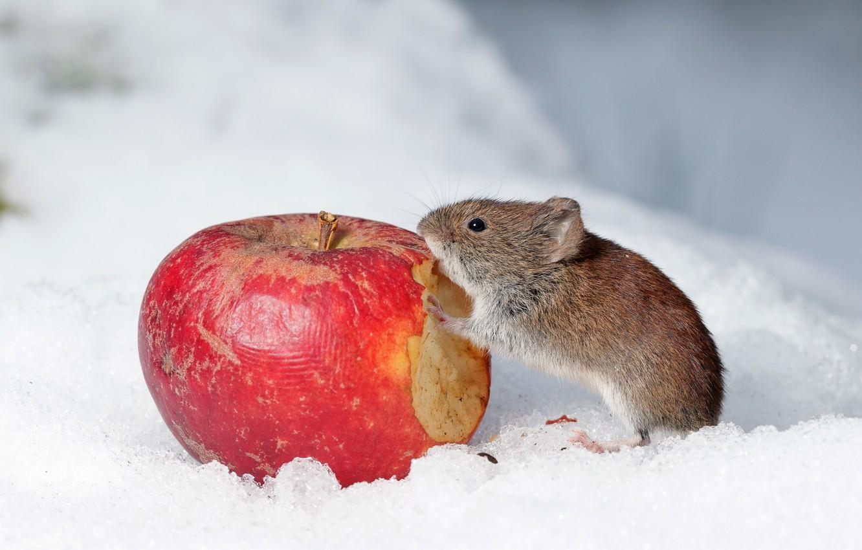 Wallpaper Snow Apple Mouse Images For Desktop Section