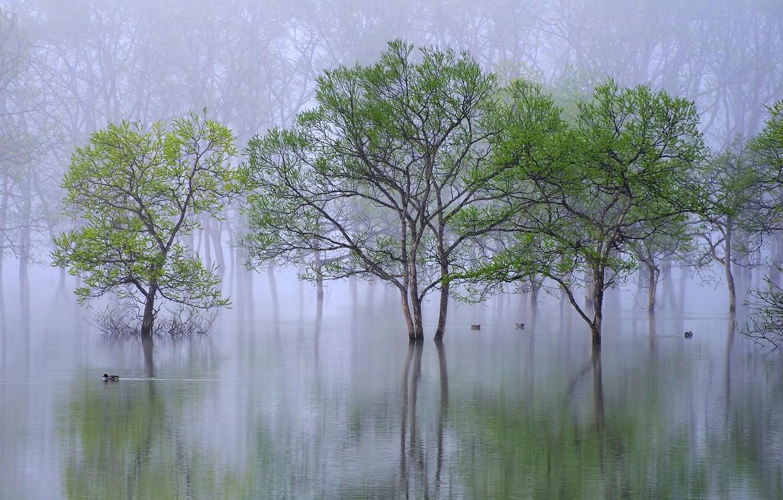 Photo wallpaper water, trees, nature, fog, river, duck, spring, morning, haze